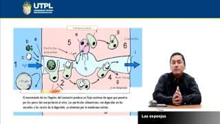 UTPL LAS ESPONJAS [(CCEE-QUÍMICO - BIOLÓGICAS)(ZOOLOGÍA GENERAL)]