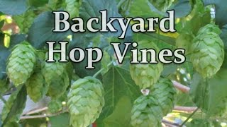 In this video, Dan from http://www.plantabundance.com gives an update on the (1st Year) organically grown backyard hop vines growing in an urban backyard ...