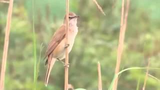KICAU Burung Pelanduk Semak (Red Weber)