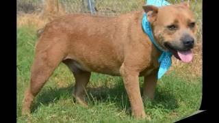 BamBam - Pit Bull Terrier / Mixed (medium coat) Dog For Adoption