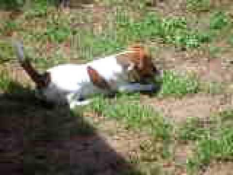 Una cucciola di jack del nostro allevamento