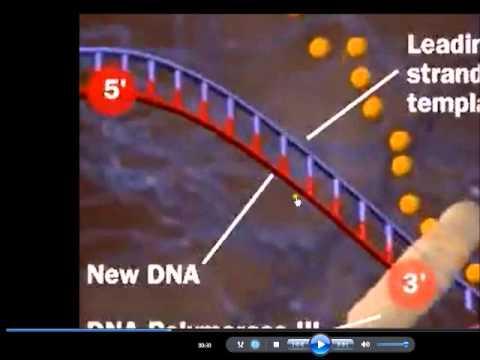 กระบวนการจำลองดีเอ็นเอ DNA replication)