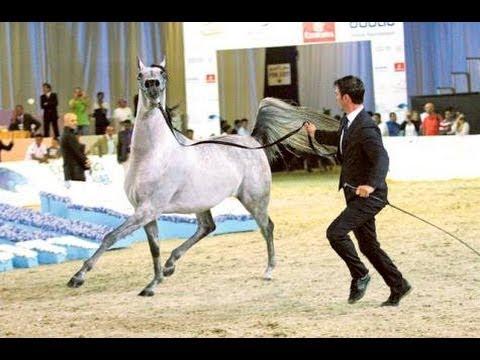 Dubai International Arabian Horse Championship 2014