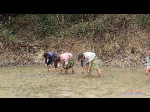 Khi Người HMông Xuống Phố, Xuống Ruộng (Út Cấy Cùng Hai Em HMông Xinh Gái) | Nhịp Sống Thường Ngày - Thời lượng: 13 phút.