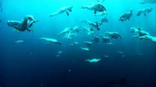 Cape Gannet - Hunting Technique