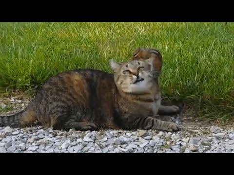 il gatto rinuncia a mangiarlo e lo lascia. il topo decide di sfidarlo!