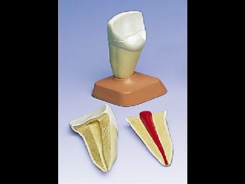 Как пломбировать каналы переднего зуба гуттаперчевыми штифтами