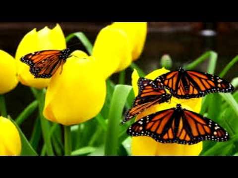 ¿Cómo se orientan las mariposas monarca en sus migraciones?