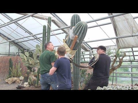 Kaktus XXL - Umtopfen bei Kakteen Haage