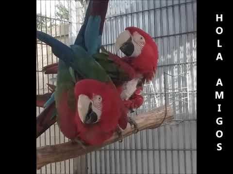 Pareja de guacamayos rojos de alas verdes apareándose
