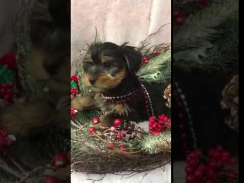 Cute Sweet Yorkie Puppy Great With Kids UTD with Vaccines