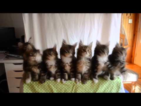Maine Coon kittens Ballet