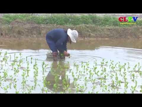 Cam Lộ triển khai trồng cây trạch tả