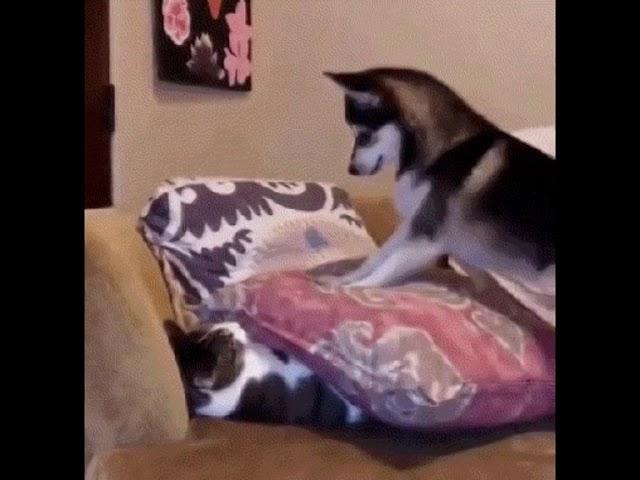 Хаски играет с котом: