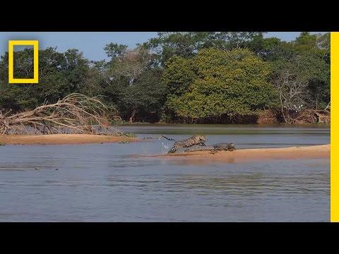 眼看著這隻準備偷襲鱷魚的美洲豹將迎來一場激戰…欸?怎麼才幾秒就分出勝負?!
