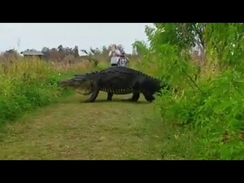 Massive Alligator Shocks Tourists As He Nonchalantly Strolls By On Walking Path (видео)