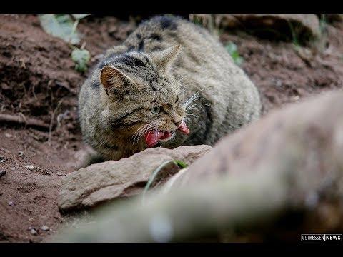 Die Rhöner Wildkatze - das unbekannte Wesen (Hessen)