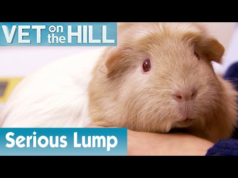 🐹 Guinea Pig Has A Serious Lump | FULL EPISODE | S02E08 | Vet On The Hill