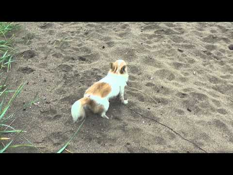 Bella the Chihuahua Playing in the sand