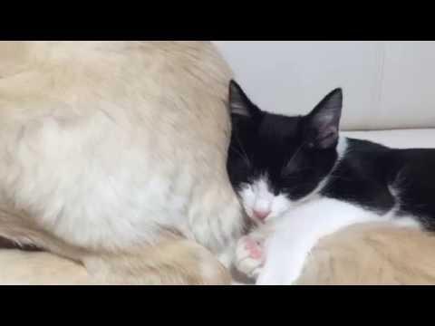 大型犬のしっぽを抱き枕にする子猫