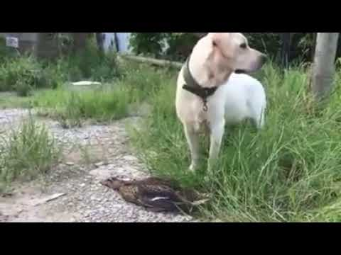 Thug Duck Playing Dead In Front Of Dog