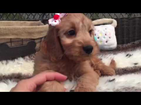 Petite, Rich red Mini Goldendoodle puppy