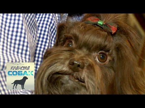 Русская цветная болонка. Планета собак