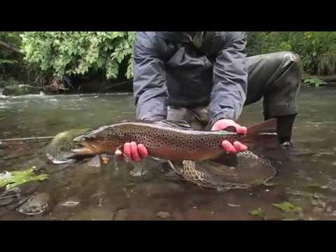 large wild brown trout caught fly fishing on a small creek with jesse filingo of filingo fly fishing