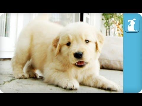 cucciolo-di-golden-attacca-la-videocamera-108