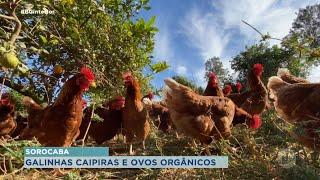 [Mais Agro] Porto Feliz : granja cria galinhas soltas para produção de ovos caipiras e orgânicos