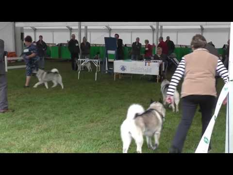 Driffield Dog Show 2015 - Elkhounds