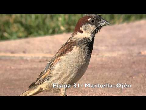 Vögel des Großen Weg von Malaga (GR 249). Die Schritte 27 bis 35