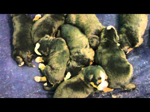 Bernese mountain dog puppies at 2 weeks old
