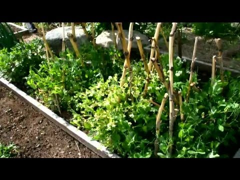 How Do I Plant Pea Seeds in the Fall? : Fall Gardening