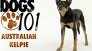 Dogs 101 - Australian Kelpie