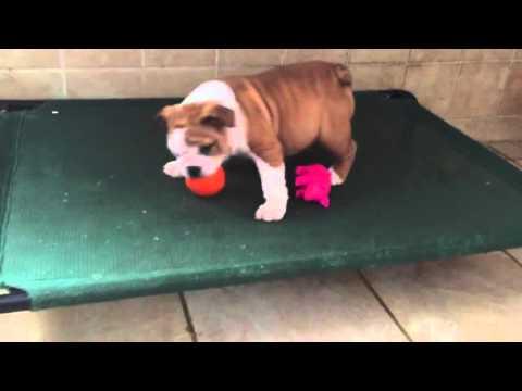 Female Peanut Butter bulldog puppy