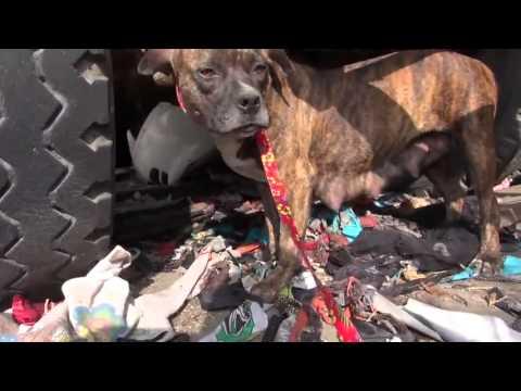 Sauvetage d'une chienne errante grâce à l'ingéniosité d'un membre de hopeforpaws.