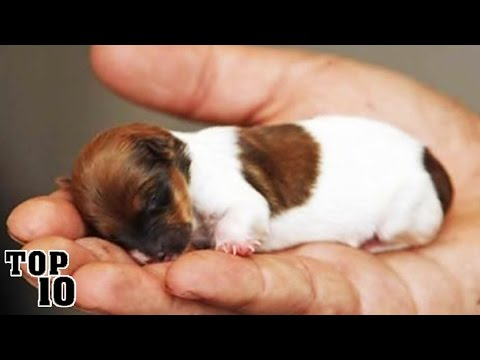 Top 10 Smallest Dogs In The World