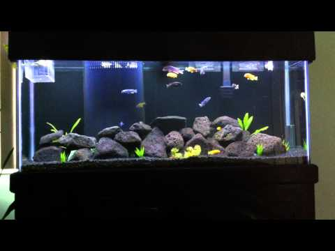 cichlid - Here is my 55 Gallon African Cichlid Tank with Mbuna. Comments and questions welcome! Enjoy & Subscribe for updates and DIY soon to come! Plants: Amazon Swor...