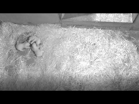 Antibes/Frankreich: Eisbärin Flocke bekommt Drillinge im »Marineland«