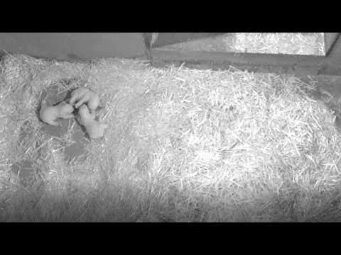 Antibes/Frankreich: Eisbärin Flocke bekommt Drillinge  ...