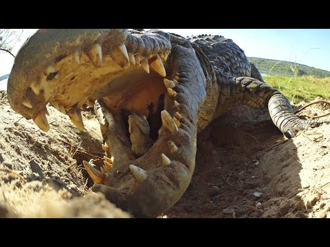 Crocodile Scoops Up Babies Into Mouth