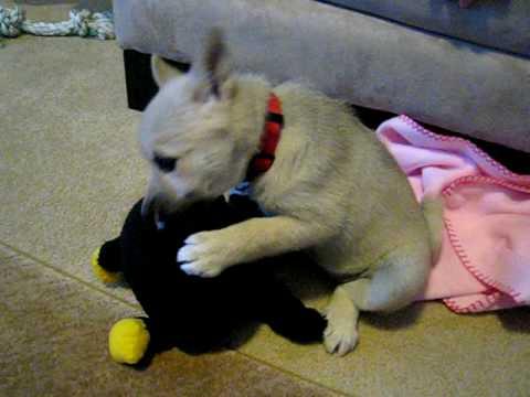 Kahsha Norwegian Buhund Puppy with her stuffed animal
