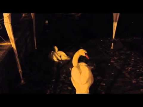 I cigni fuggono dal lago