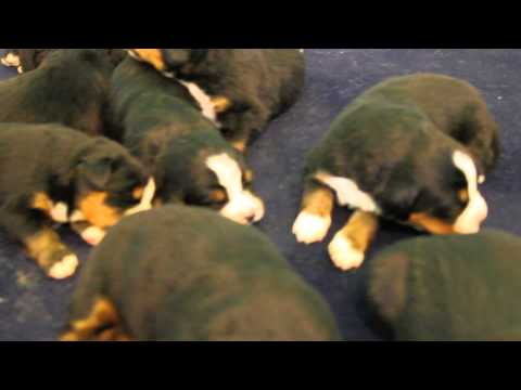 bernese mountain dog puppies at 2 wks old