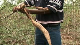 Combating Cassava Mosaic