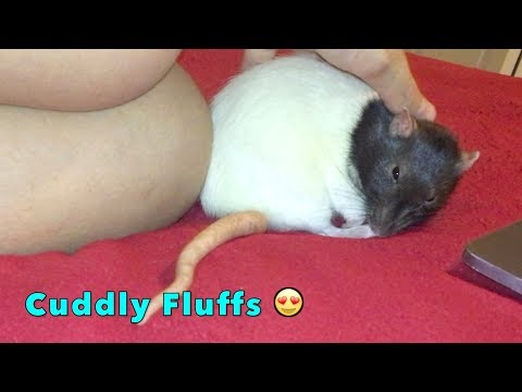 💕Sweet Cuddly Rats! 💕