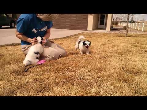 japanese chin puppies at play in colorado