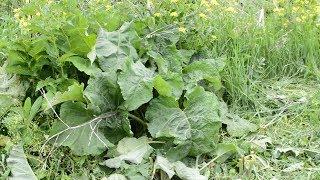 Лопух в питании Растение которое не даст погибнуть с голода в экстремальной ситуации