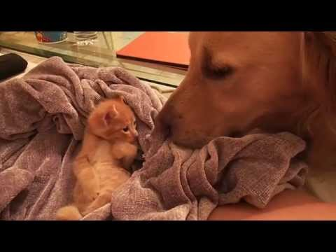 Kitten Pats Dogs Nose (Video)